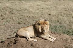 Lion (rwoan) Tags: simiyuregion tanzania