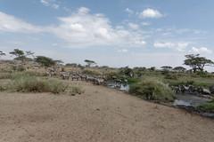 Zebra (rwoan) Tags: simiyuregion tanzania