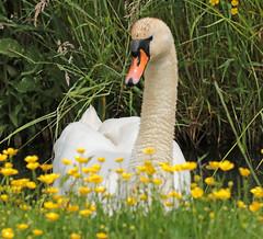 swan Waterland 094A1623 (j.a.kok) Tags: zwaan knobbelzwaan swan watervogel waterbird waterland