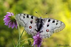Ma quanto sei bella! (Parnassius Apollo) (silvano fabris) Tags: canonphotography nature natura butterfly farfalle parnassiusapollo