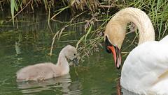swan Waterland 094A1666 (j.a.kok) Tags: zwaan knobbelzwaan swan watervogel waterbird waterland