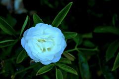 a white rose in the darkness (francescoartuso) Tags: white rose rosa bianca oscurità darkness natura pianta colore colori bianco verde nero fiori