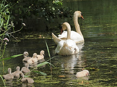 swan Waterland 094A0132 (j.a.kok) Tags: zwaan knobbelzwaan swan watervogel waterbird waterland