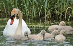 swan Waterland 094A0237 (j.a.kok) Tags: zwaan knobbelzwaan swan watervogel waterbird waterland