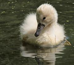 swan Waterland 094A0076 (j.a.kok) Tags: zwaan knobbelzwaan swan watervogel waterbird waterland