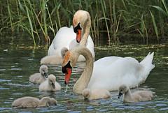 swan Waterland 094A0272 (j.a.kok) Tags: zwaan knobbelzwaan swan watervogel waterbird waterland