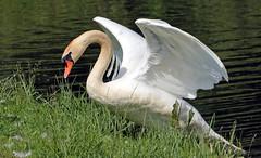 swan Waterland 094A0607 (j.a.kok) Tags: zwaan knobbelzwaan swan watervogel waterbird waterland