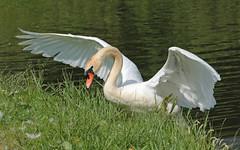 swan Waterland 094A0604 (j.a.kok) Tags: zwaan knobbelzwaan swan watervogel waterbird waterland
