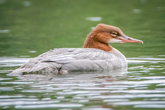 Female goosander (sean4646) Tags: d500 nikon birds avian nature wildlife reddishvale tameside cheshire goosander