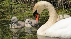 swan Waterland 094A0048 (j.a.kok) Tags: zwaan knobbelzwaan swan watervogel waterbird waterland