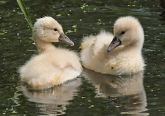 swan Waterland 094A0084 (j.a.kok) Tags: zwaan knobbelzwaan swan watervogel waterbird waterland