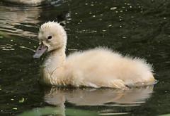swan Waterland 094A0082 (j.a.kok) Tags: zwaan knobbelzwaan swan watervogel waterbird waterland