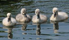 swan Waterland 094A0516 (j.a.kok) Tags: zwaan knobbelzwaan swan watervogel waterbird waterland