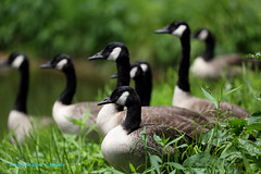 You Can See A Lot in Six Minutes...My Moment of Bliss (Walt Snyder) Tags: canoneos5dmkiii canadagoose goose canonef100400mmf4556lisiiusm pond lake water flock gaggle geese canadageese portrait green shadows shade