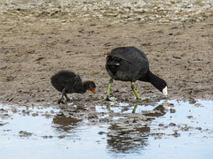 Coot baby following in Mom's footsteps (annkelliott) Tags: alberta canada franklake seofcalgary nature wildlife ornithology avian bird birds coot americancoot fulicaamericana rallidae adult baby walking searchingforfood copyingmom sideview mud water migratory outdoor summer 3july2019 canon sx60 canonsx60 powershot annkelliott anneelliott ©anneelliott2019 ©allrightsreserved