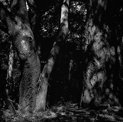 Oak and redwood (bingley0522) Tags: hasselblad500cm carlzeissplanar80mmf28 tmax400 hc110h epsonv500scanner sammcdonaldcountypark sanmateocounty redwoodforest redwoods oaks lateafternoonsun coastalcalifornia coastrange ordinarythings commonplacethings autaut