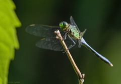 Blue Dasher. (11) (Estrada77) Tags: dragonfly insects bluedasher wildlife outdoors mchenrycounty illinois nature animals nikon nikond500200500mm summer2019 july2019