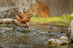 AT THE WATER HOLE (Sandy Hill :-)) Tags: birds crossbills malecrossbills finches finch birdsofnorthamerica birdsofvancouverisland birdsofbc finchesofbc sandyhill sandyhillphotography