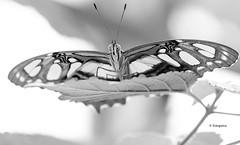Schmetterling monocrom (petra.foto busy busy busy) Tags: malachitfalter schmetterling natur butterflay tiere monocrom schwarz weiss fotopetra canon 5dmarkiii