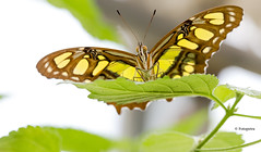 Schmetterling im Gegenlicht (petra.foto busy busy busy) Tags: schmetterling butterfly natur tiere fotopetra canon 5dmarkiii malachitfalter