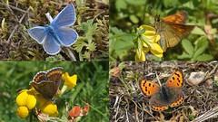 Butterflies at Cuttle Pool (Nick:Wood) Tags: butterfly commonblue largeskipper smallcopper brownargus cuttlepoolnaturereserve warwickshirewildlifetrust templebalsall