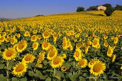 Girasoli - Sunflowers (francescociccotti1) Tags: