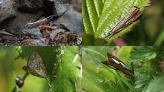 Moths at Cuttle Pool (Nick:Wood) Tags: moth diamondbackmoth gardengrassveneer pearlgrassveneer chequeredpearl cuttlepoolnaturereserve warwickshirewildlifetrust templebalsall