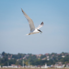 Sandwich Tern catching lunch over Brownsea Island (chrisellis211) Tags: brownsea island nature dorset nt nationaltrust dwt dorsetwildlifetrust summer animals canon 80d canon80d telephoto 70200mm tern sandwich sandwichtern bird birds wildlife fish fishing