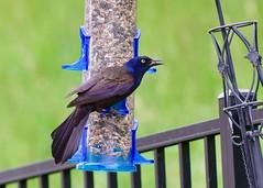 Grackle visitor (R.A. Killmer) Tags: grackle color colorful bird avian beauty beak nikon nature natural wild wildlife feeder d750