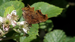 Comma (Nick:Wood) Tags: butterfly comma polygoniacalbum cuttlepoolnaturereserve warwickshirewildlifetrust templebalsall