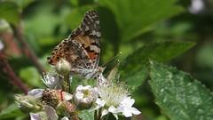 Painted Lady (Nick:Wood) Tags: butterfly paintedlady vanessacardui cuttlepoolnaturereserve warwickshirewildlifetrust templebalsall