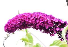 DSC_5064 Buddleia (PeaTJay) Tags: nikond750 sigma reading lowerearley berkshire macro micro closeups gardens outdoors nature flora fauna plants flowers buddleia