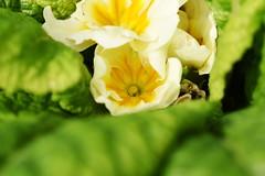 DSC_5071 Primrose (PeaTJay) Tags: nikond750 sigma reading lowerearley berkshire macro micro closeups gardens outdoors nature flora fauna plants flowers primrose primroses