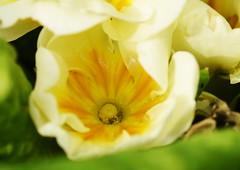 DSC_5072 Primrose (PeaTJay) Tags: nikond750 sigma reading lowerearley berkshire macro micro closeups gardens outdoors nature flora fauna plants flowers primrose primroses