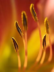 Lily (François dt) Tags: canon 6dmarkii canon6dmarkii nature macro flower gardenflower