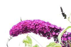 DSC_5063 Buddleia (PeaTJay) Tags: nikond750 sigma reading lowerearley berkshire macro micro closeups gardens outdoors nature flora fauna plants flowers buddleia