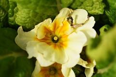 DSC_5073 Primrose (PeaTJay) Tags: nikond750 sigma reading lowerearley berkshire macro micro closeups gardens outdoors nature flora fauna plants flowers primrose primroses