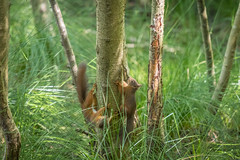 Red Squirrels playing at Brownsea Island (chrisellis211) Tags: brownsea island nature dorset nt nationaltrust dwt dorsetwildlifetrust summer animals canon 80d canon80d telephoto 70200mm squirrel red redsquirrel