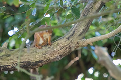 Red Squirrel at Brownsea Island (chrisellis211) Tags: brownsea island nature dorset nt nationaltrust dwt dorsetwildlifetrust summer animals canon 80d canon80d telephoto 70200mm squirrel red redsquirrel