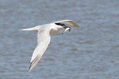 Sandwich Tern Fishing (chrisellis211) Tags: brownsea island nature dorset nt nationaltrust dwt dorsetwildlifetrust summer animals canon 80d canon80d telephoto 70200mm tern sandwich sandwichtern bird birds wildlife fish fishing