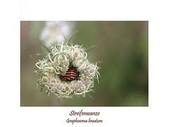 Insektenmakro (ernst.ruhe) Tags: streifenwanze wanze insektenmakro graphosomalineatum hemiptera