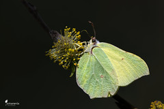 Brimstone - Light and Shadow (Picturavis) Tags: schmetterling bitterfeldwolfen grosergoitzschesee insekt germany picturavis deutschland butterfly zitronenfalter gonepteryxrhamni commonbrimstone