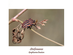 Insektenmakro (ernst.ruhe) Tags: hemiptera wanze wanzen streifenwanze graphosoma graphosomalineatum