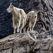 Shedding Mountain Goats