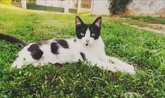 #Cute #BlackandWhite #Cat #Nature #Sunny #Grass (szandika612) Tags: nature cute sunny blackandwhite grass cat
