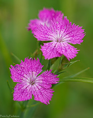 Field carnation / Полевая гвоздика (Vladimir Zhdanov) Tags: nature summer june russia moscow macro flower plant carnation
