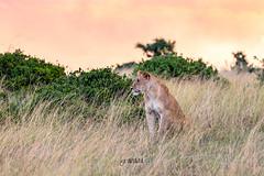 Maasai Mara (Luis Granada) Tags: kenya lion lioness maasaimara mara maasai park wild wildlife nature animal sunset africa safari