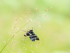 Amatha Phegea (de_frakke) Tags: vlinder farfalle schmetterling mariposa melkdrupje amathaphegea natuur