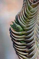 New birth (pup on Crassula cv. Buddha's Temple (pazzapped) Tags: crassula succulent succulents macro macrophoto macrophotography cactus cacti leaves cultivar buddhas temple
