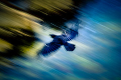 Flight in Motion (crowt59) Tags: black bird flight flying motion blur san francisco bay california crowt59 nikon d800 speed lr light room photomorphis texture nikonflickraward